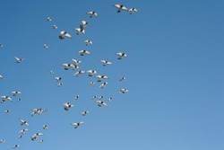A pigeon flies in the sky. A flying bird against the blue sky, a blue dove spread its wings.