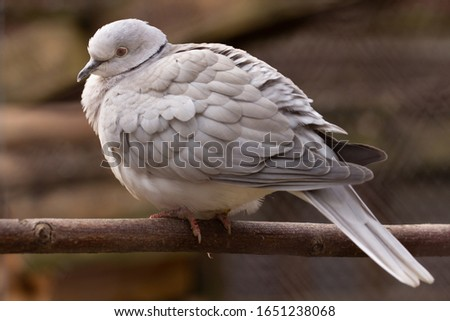 A pigeon of a Texan meat breed sits on a pole in a paddock.