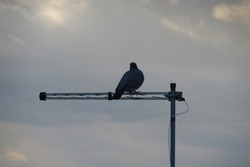 A pigeon on an aerial of a house in the city