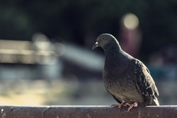 A pigeon sitting on the railing. A city bird on a blurry background. A blue-winged pigeon looks into the distance. A feathered bird illuminated by the sun. Resting gray pigeon on a perch.