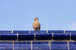 A pigeon standing on the roof tile