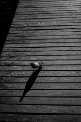 A pigeon strolls on the dock of the ferry on Lake Garda