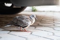 A pigion bird is walking under a car