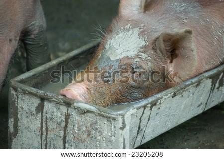 A  piglet having fun  in a trough