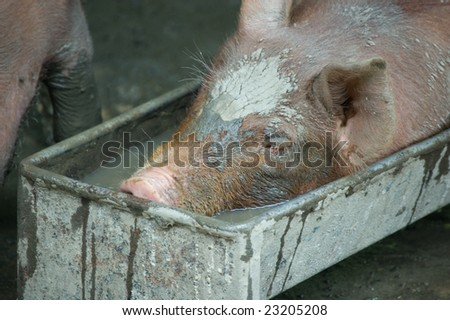 A  piglet having fun  in a trough - stock photo