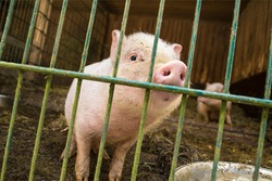 A piglet in the barn. It looks and sniffs curiously to the camera. Behind the bars it has a lot of space together with its siblings. Open air husbandry.