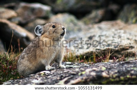 A pika chirps from his home in Rocky Mountain National Park, Colorado, USA, August, 2016. Zdjęcia stock ©