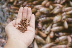 A Pile of brown Pellets feeds the fish on a female hand with blurred background of a large group of domestic orange fishes in the pond, healthy food, and nutrition for animal aquaculture concept.