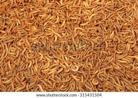 A pile of living mealworms larvae this worm is used as for Mealworms for fishing