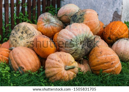A pile of multi-colored pumpkins piled in the yard in the village.