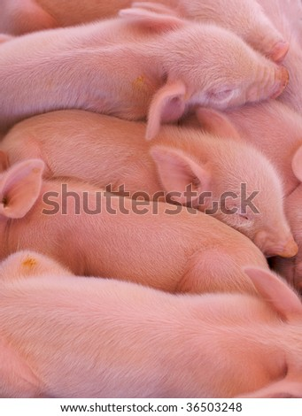 a pile of pink piglets just born at the state fair