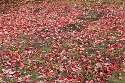 A pile of red maple leaves on the ground in New Brunswick Canada during fall season. Autumn in Atlantic Canada.