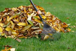 A pile of yellow autumn leaves in the autumn garden garden on the lawn grass. There is a rake nearby.