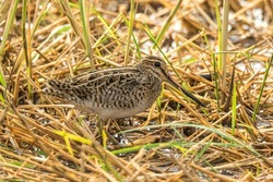 A Pin-tailed Snipe in a wet rice field