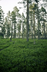 a pine forest in the north of sweden