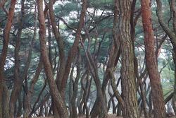 A pine grove (Gyeongju, Korea)
