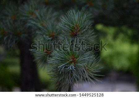 A pine is any conifer in the genus Pinus of the family Pinaceae. Pinus is the sole genus in the subfamily Pinoideae. The Plant List compiled by the Royal Botanic Gardens, Kew and Missouri Botanical Ga