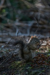A Pine Squirrel eating lunch on the forest floor in Colorado's Rocky Mountain National Park