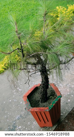 A Pine tree in a pot, with green spiny leaves, Mostly found in Hilly areas or cold areas. Also called Cheel tree in Hills of North India.