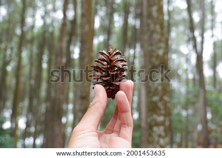 A pinecone close-up in a pine forest   Stock photo ©