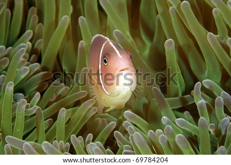 a pink anemonefish swimming in the tentacles of its sea anemone