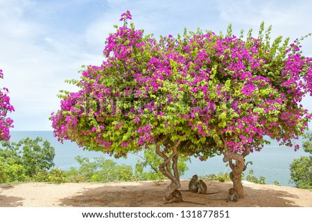A Pink Bougainvillea Tree situated atop monkey mountain in Hua Hin, Thailand making the perfect shade for a family of monkeys. - stock photo
