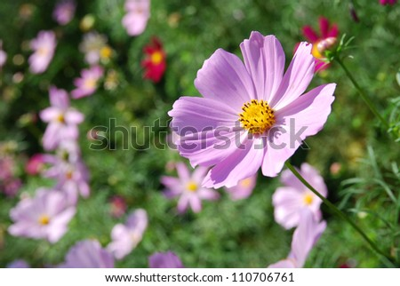 A pink cosmos in late Autumn