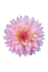 A pink Dahlia flower on white background.