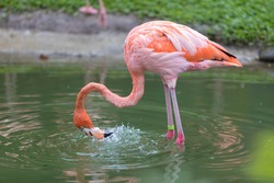 A pink flamingo fishes in a pond in the Jardin de Balata, Martinique