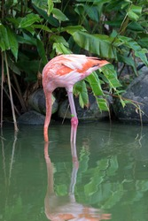 A pink flamingo fishing with its head under water in Martinique