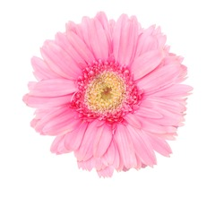 A pink gerber daisy flower isolated white
