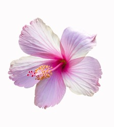 A pink hibiscus flower isolated on white background