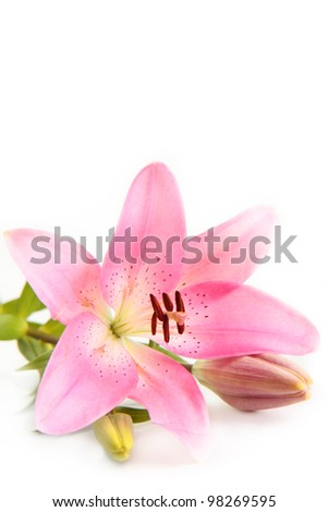 A pink lily flower, isolated on a white background.