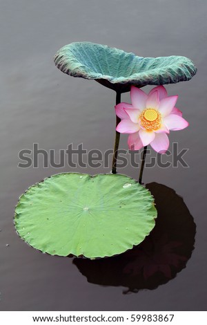a pink lotus flower under a leaf - stock photo