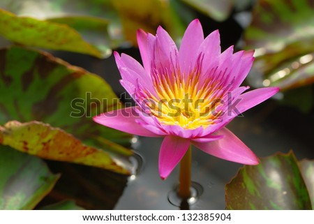 a pink lotus in the pond in...