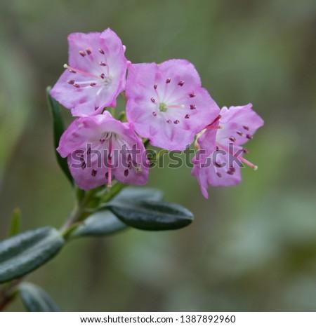 A pink Pale Laurel wildflower  with leathery leaves in springtime in Muskoka Ontario