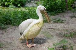 A pink pelican is a representative of ornithology, a large wild bird with a large beak, lives in a zoo, a bird cleans wet feathers