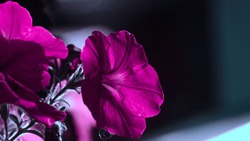 A pink petunia in shady light with blurry dark background