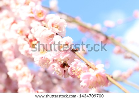 A pink plum blossom blooms in full bloom. #1434709700