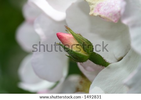 a pink rosebud between the white of open flowers