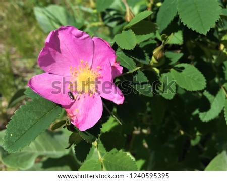 A pink wild rose with a beetle resting on its petal #1240595395
