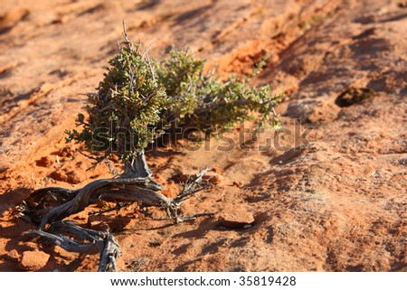 A Pinyon-Juniper tree seems to grow from the wind-shaped sandstone rock