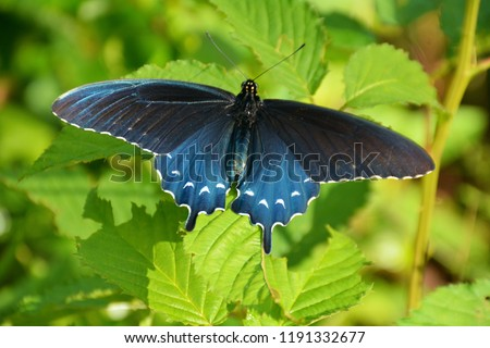 A pipevine swallowtail butterfly at Klingman's Dome, Smoky Mountains National Park, North Carolina