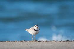a piping bird hunts for jump shrimp. photographed at the head of Meadow Beach, Cape Cod, MA
