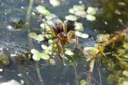 A Pirate Wolf Spider (Pirata piraticus) walking on water at the edge of a lake.