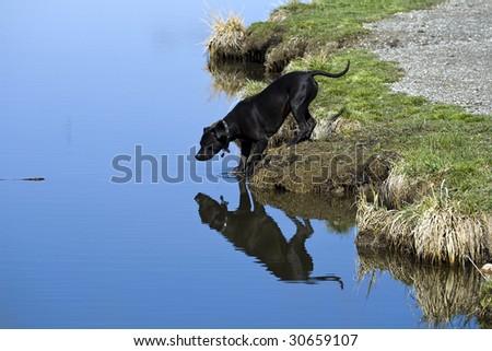 A pit bull fetching a stick