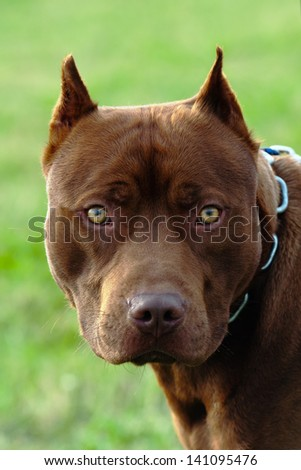 a pit bull looks at me directly in the eye