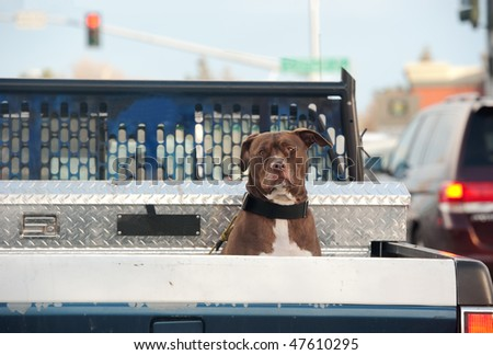 a pit bull sits in his owner truck at a red light - stock photo