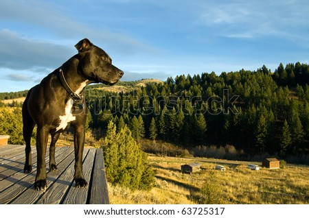 A Pit Bull Terrier stands watch on a wooden deck at a country house.