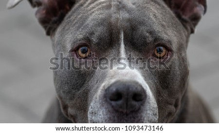 A Pitbull Portrait